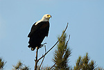 African Fish Eagle, Haliaeetus vocifer, perched at treetop, Lake Awasa, Ethiopia, Africa