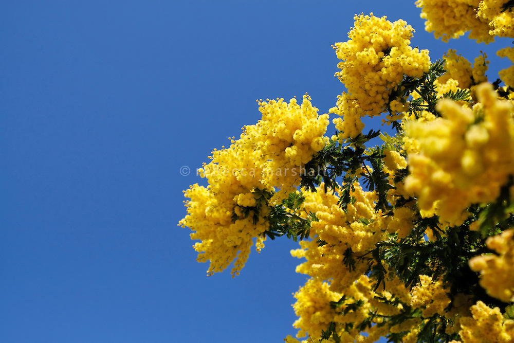 Mimosa in flower, Bormes les Mimosas, Provence, France, 23 February 2009