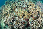 Apo Island, Dauin, Negros Oriental, Philippines; large colonies of leather corals on the reef