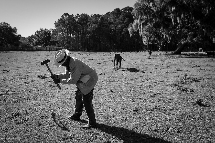 Deacon James G. Smalls stakes one of his cows on his property on St. Helena Island.