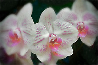 White and pink orchd. Akatsuka Orchid Gardens. Hawaii, The Big Island