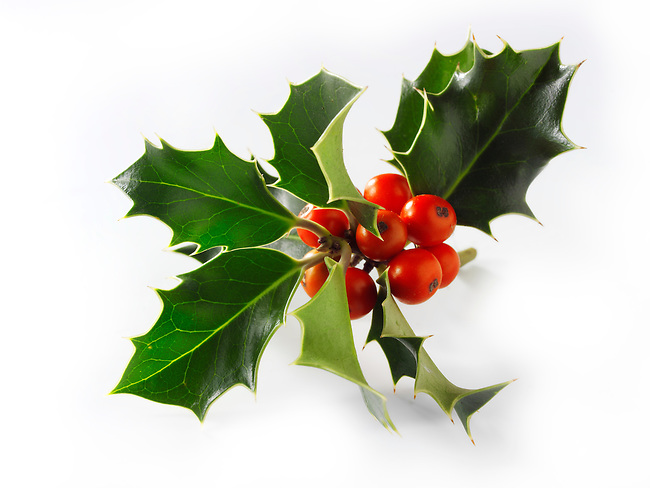 Christmas Holly leaves & berries