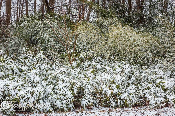 Snowy bamboo at the Arnold Arboretum in the Jamaica Plain neighborhood, Boston, Massachusetts, USA