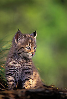 Bobcat kitten. 4 weeks old. Spring. Rocky Mountains. North America. (Felis rufus).