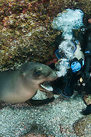 QT7268-D. California Sea Lion (Zalophus californianus) interacting with scuba diver (model released), here blowing bubbles. Baja, Mexico, Sea of Cortez, Pacific Ocean.<br /> Photo Copyright &copy; Brandon Cole. All rights reserved worldwide.  www.brandoncole.com