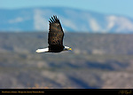 Bald Eagle in Flight, Bosque del Apache Wildlife Refuge, New Mexico