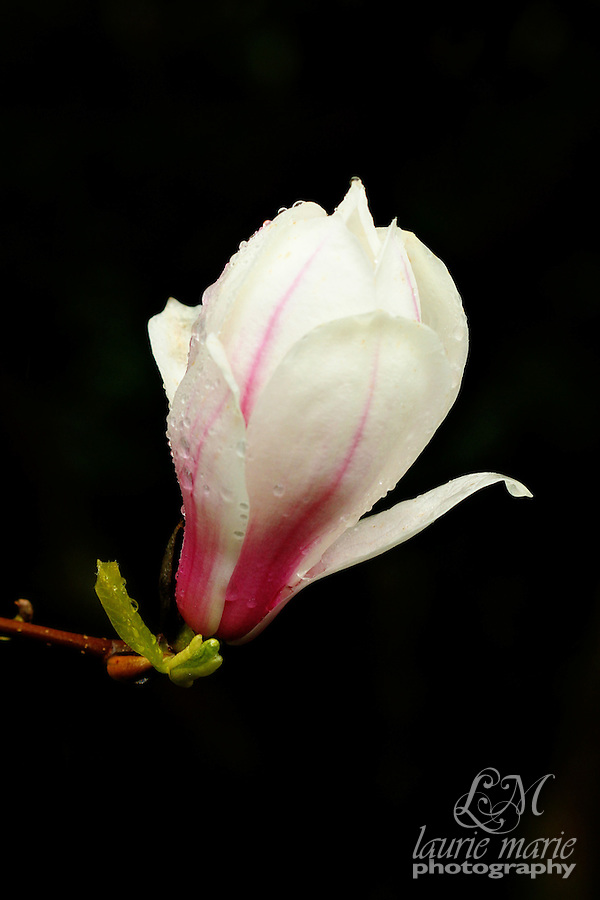 White Magnolia bloom with pink base on a dark background