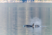 killer whale or orca, Orcinus orca, surfacing, Glacier Bay National Park, Southeast Alaska, aka Alaskan Panhandle, Alaska, USA, Pacific Ocean