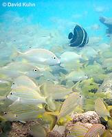 0111-1204  School of Blue Striped Grunts in Caribbean Reef, Haemulon sciurus  © David Kuhn/Dwight Kuhn Photography
