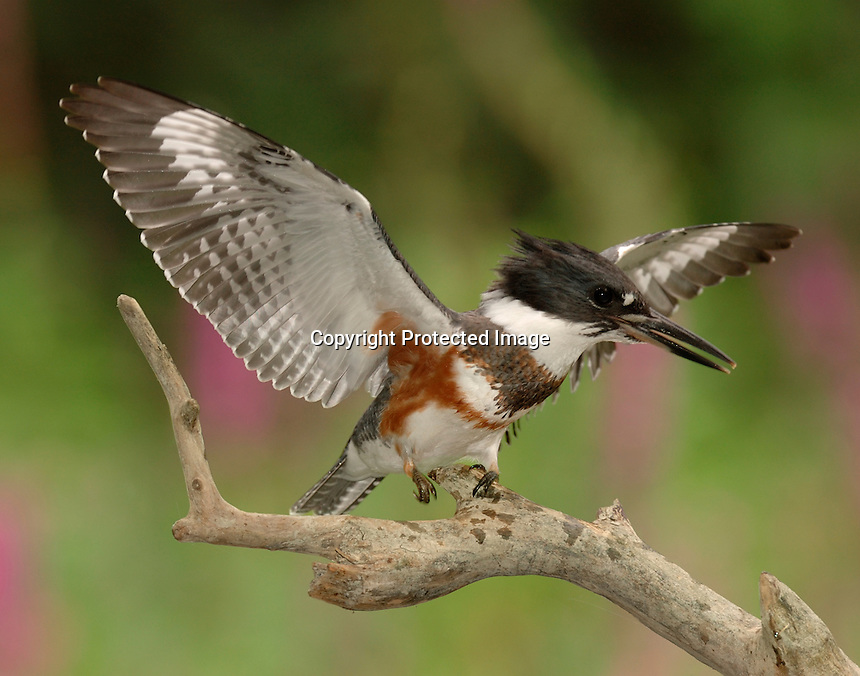 Female, juvenile belted kingfisher defending prime fishing perch from second incoming bird of the same species with defensive, winspread posture.