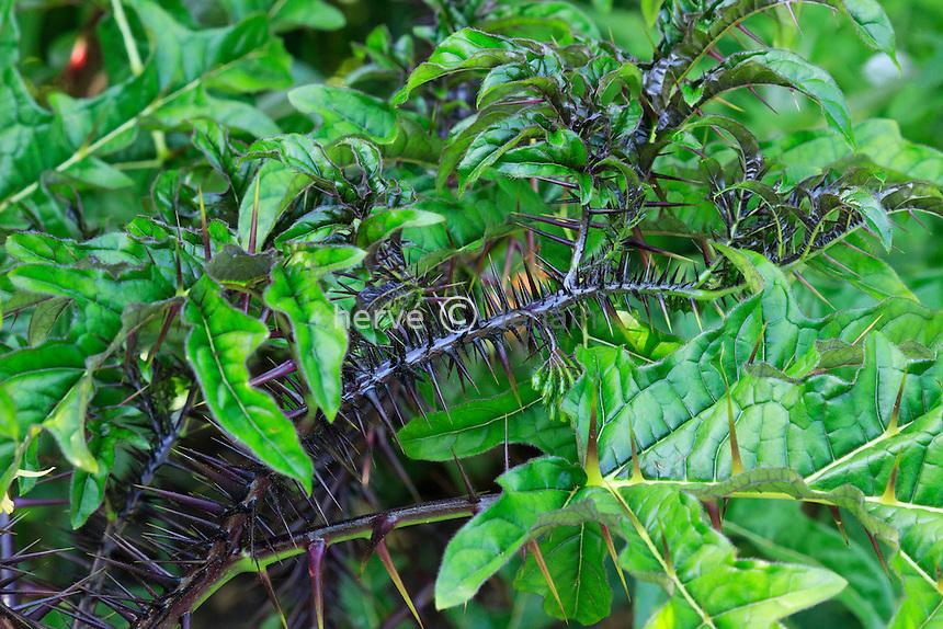 Solanum atropurpureum // Solanum atropurpureum, Malevolence, Purple Devil or Five-Minute Plant.
