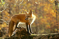 Red fox, Vulpes fulva, standing on log in autumn forest turns with interest to new sound, Vermont