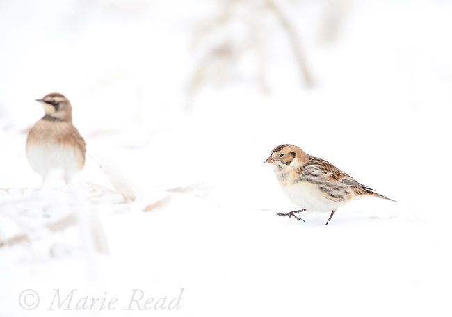 Lapland Longspur (Calcarius lapponicus), non-breeding plumage, walking on snow-covered ground in cornfield, (Horned Lark (Eremophila alpestris) in background), New York, USA