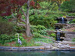 Spring in Sarah P. Duke Gardens.<br /> Heron by the Koi pond<br /> Photo by Bill Snead/Duke Photography #dukephotoaday, #dukefacilities