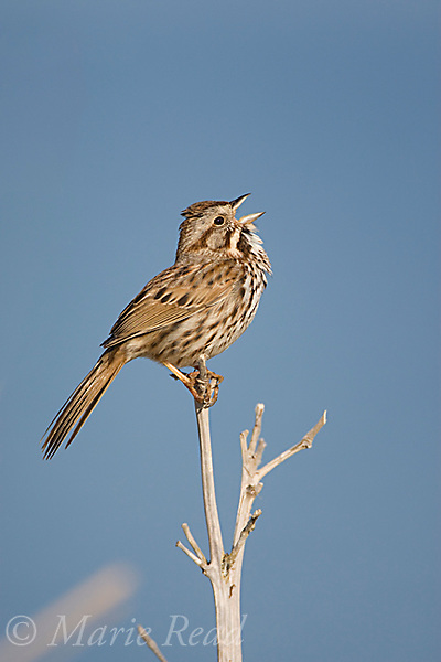 Song Sparrow (Melospiza melodia) male singing, Montezuma National Wildlife Refuge, New York, USA
