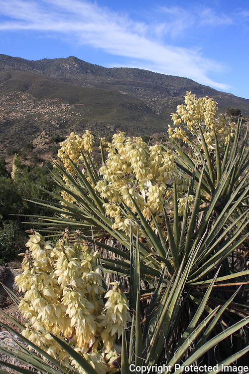 Blooming yuccas in the Santa Rosa Mountains