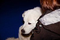 A white Show Dog resting on it's owners arm during a pause in the International Dog Show in Prague May 2014. Owner with her back to the camera wearing brown and white jacket with hood.