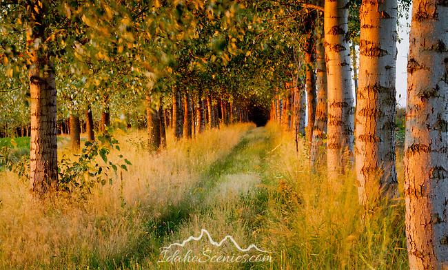 A service road into a grove of trees, Rathdrum Prairie, Idaho.