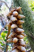 Escargot de l'ile des Pins en guirlande