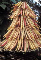 Bean 'Rob Roy' climbing French bean, Borlotti , yellow red Phaseolus crop, picked vegetables