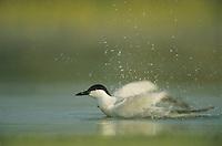 Gull-billed Tern, Sterna nilotica, adult bathing, Welder Wildlife Refuge, Sinton, Texas, USA