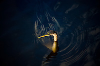 Anhinga snakebird darter, Anhinga anhinga, in river in the Everglades, Florida, United States of America