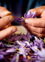 Saffron harvested from the Navelli region, in the province of L' Aquila in Abruzzo, Italy.  Obtained from the stem of the 'crocus sativus' flowers which are hand picked from the fields in and around the small villages of Navelli and Civitaretenga.