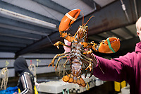 Mark Barlow is the co-owner of Island Seafood, a lobster dealer in Eliot, Maine, USA, seen here in Island Seafood's receiving facility, where lobsters are brought for sorting by size before packaging and shipping, on Wed., Jan. 31, 2018.