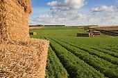 Carrot Fields, Burnham Overy Norfolk, UK