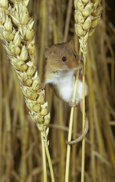 Harvest Mouse Micromys minutus Length 10-15cm Britain's smallest rodent. In summer, constructs a tennis ball-sized spherical nest, woven among grass stems. Adult has tiny, compact body. Coat is mainly golden brown but throat, chest and belly are white. Ears are rounded and feet possess a good grip, essential for climbing; prehensile tail serves as fifth limb in this regard. Mostly silent. Once widespread and common (in England at least) in arable fields but now much reduced and confined to wildlife-managed meadows, bramble patches and dry reedbeds.