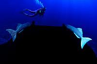 diver and reef manta ray, Manta alfredi, with remoras, Revillagigedos Islands, Mexico, Pacific Ocean (dc)