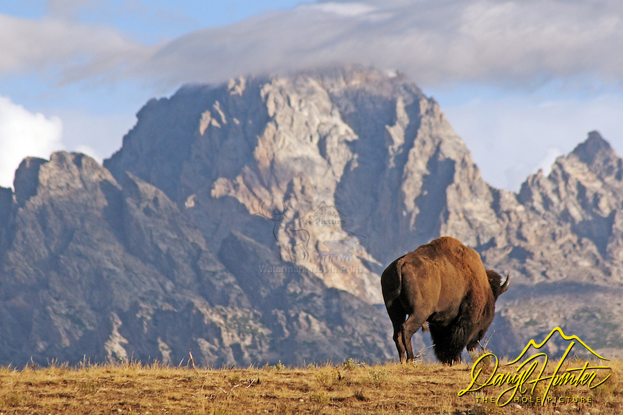 Bull bison, Grand Teton National Park, Jackson Hole,
