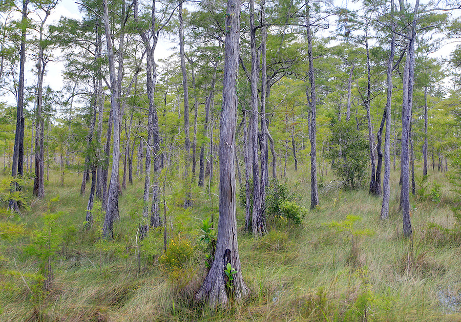Cypress trees in tall grass near the Turner River in Florida's Everglades National Park and the 10,000 Islands National Wildlife Refuge. Photo/Andrew Shurtleff