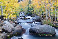 Fall colored aspens along South Fork Biship Creek. Inyo National Forest. California