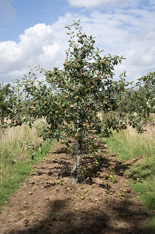 Spindlebush apple trees in an orchard in Kent, mid July.