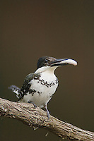 Green Kingfisher, Chloroceryle americana, female with fish prey, Hill Country, Texas, USA, April 2007