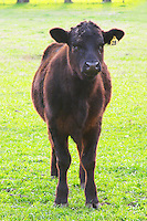 A young black angus bull on a green field. Montevideo, Uruguay, South America