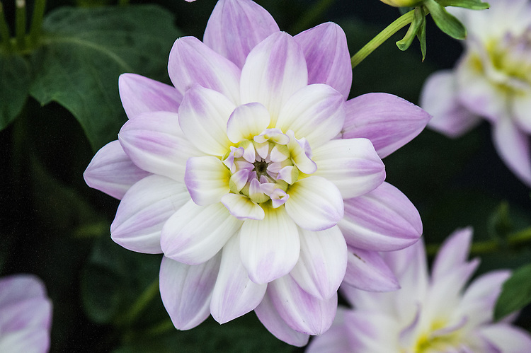 Dahlia 'Twilight Time', early July. Waterlily Group.