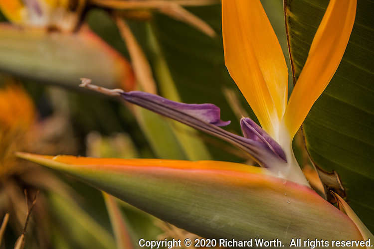 On a bird of paradise flower, tiny water droplets appear as if tiny tears on the cheek of a Bird of Paradise.