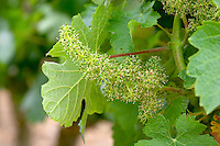 Flowering grape vine. Vine leaf. Domaine Chateau de la Roche aux Moines, Savennieres, Anjou, Loire, France