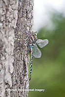 06347-001.09 Lance-tipped Darner dragonfly (Aeshna constricta) male on tree, McHenry Co,. IL