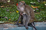 A Monkey holds her baby outside of a temple at Batu Caves on Wednesday April 24th 2013 in Kuala Lumpur, Malaysia. (Photo by Brian Garfinkel)