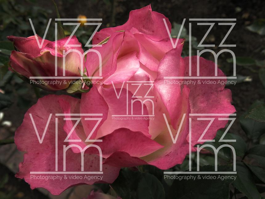 BOGOTÁ-COLOMBIA-15-01-2013. Rosa fucsia Nostalgie.  Rose Fuchsia Nostalgie. (Photo:VizzorImage)