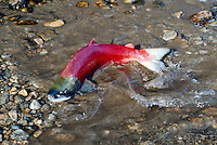 Annual Adams River Sockeye Salmon Run (Oncorhynchus nerka), Roderick Haig-Brown Provincial Park near Salmon Arm, BC, British Columbia, Canada - Fish returning to Spawn