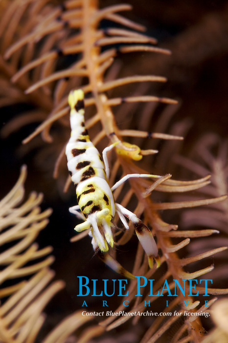 A commensal crinoid shrimp (Periclimenes sp.) hiding in a crinoid off of Tulamben, Bali, Indonesia, Indian Ocean