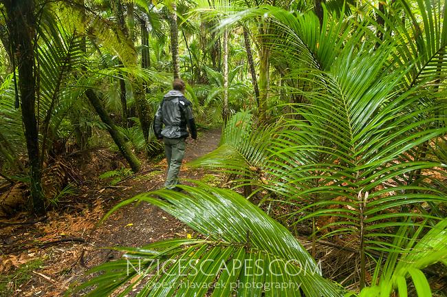 Hiker walking through Nikau Palm forest at Kohaihai on Heaphy Track, Kahurangi National Park, West Coast, Buller Region, New Zealand