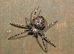 Walnut Orb Weaver Spider, nuctenea umbratica nocturnat, on fence panel in garden at night.United Kingdom....