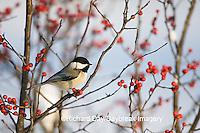 01299-031.16 Carolina Chickadee (Poecile carolinensis) in Common Winterberry (Ilex verticillata) in winter, Marion Co. IL