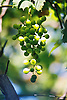 unripe green wine grapes<br /> <br /> uvas verdes<br /> <br /> unreife gr&uuml;ne Trauben<br /> <br /> 1840 x 1232 px<br /> 150 dpi: 31,16 x 20,86 cm<br /> 300 dpi: 15,58 x 10,43 cm<br /> Original: 35 mm