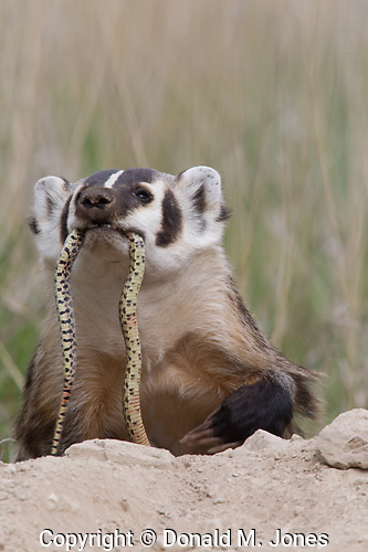 Badger (Taxidea taxus) with Gopher Snake (Pituophis melanoleucus)